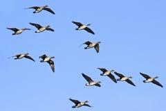 Flugwesen-Menge der größeren Weiß-konfrontierten Gänse stockfoto