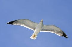 Flugwesen-Seemöwe Stockbild