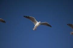 Flugwesen-Seemöwen im Himmel stockfotos