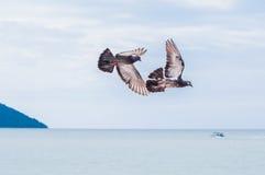 Flugwesen-Tauben stockfotografie
