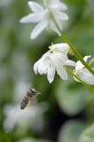 Flugwesenhonigbiene stockbilder