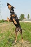 Flugwesenhund Lizenzfreies Stockbild