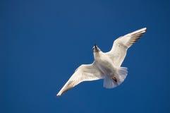 Flugwesenmöve auf dem blauen Himmel Lizenzfreies Stockbild