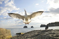 Flugwesenseemöwe Stockfoto