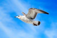 Flugwesenseemöwe Lizenzfreie Stockfotos