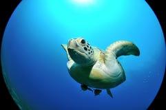 Flugwesenseeschildkröte stockfotografie