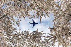 Flugzeug über den Kirschblütenbäumen Stockbilder