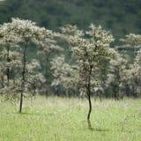 Fluitende doorn - dreparalobium van de Acacia Stock Foto