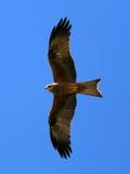 Fluitende Vlieger - Kakadu Nationaal Park, Australië Royalty-vrije Stock Afbeeldingen