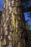Flujos ambarinos de la savia de la resina en corrientes a lo largo de la corteza del pino imagen de archivo