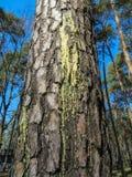 Flujos ambarinos de la savia de la resina en corrientes a lo largo de la corteza del pino imagenes de archivo