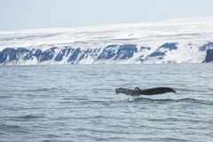 Fluke of large humpback whale as it goes into a dive Stock Photos