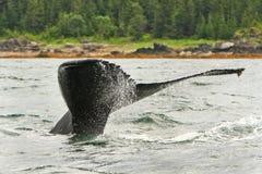 Fluken för den Alaska puckelryggsvanen bevattnar sprej Royaltyfri Fotografi