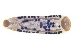 FlukeParasitic flatworm συκωτιού των βοοειδών και άλλης βοσκής anim στοκ φωτογραφίες