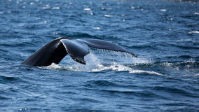 fluking它的尾巴的驼背鲸,它潜水 免版税库存照片