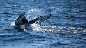 fluking它的尾巴的驼背鲸,它潜水 库存图片