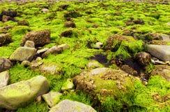 Fluorescencyjna zielona dennej sałaty Ulva lactuca gałęzatka zdjęcie stock