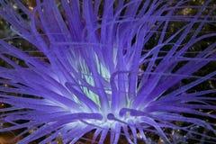 Fluorescencyjny purpury tubki anemon obraz stock