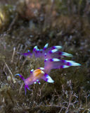 Fluorescent Flabellina exoplata on earthy seafloor Royalty Free Stock Photo