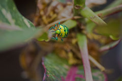 Fluorescent green beetle Stock Images