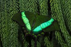 Fluorescent green butterfly relaxing on a leaf stock image