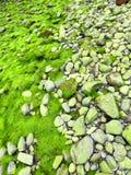 Fluorescent green sea lettuce Ulva lactuca seaweed Royalty Free Stock Photo