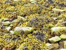 Fluorescent green sea lettuce Ulva lactuca seaweed Stock Photo