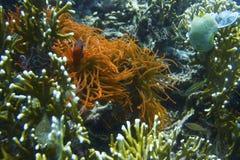 Fluorescent Orange Sea Anemone off Padre Burgos, Leyte, Philippines Stock Photo