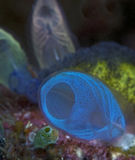 Fluorescent tunicates Royalty Free Stock Image