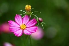 Fluorescente roze bloem Stock Afbeelding