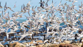 Flurry of Sea Birds Stock Image