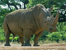Flushing. The White Rhino, an Endangered Species, marks its territory with a spray, and also needs an enormous amount of  fluids just to flush his bulky system Stock Photos