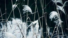 Fluss deckt im Wind mit Schilf und rüttelt Wildnis, Reflexion, dunstige Art stock video