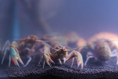 Fluss-Garnele in den Glasschränken Stockfoto