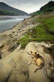 Fluss-Hund stockbilder