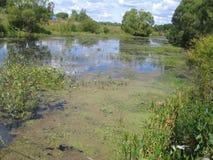 Fluss im Dorf, überwältigt mit Schilfen, Lilie kuvshinkami vektor abbildung