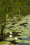 Fluss mit Wasserlilie Stockbild