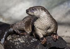 Fluss-Otter Lizenzfreies Stockbild