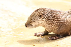 Fluss-Otter am Dakota-Zoo lizenzfreies stockbild