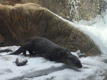 Fluss-Otter, der das Snowy-Ufer mit einem Strom und Wasserfall nahe bei ihm erforscht lizenzfreie stockfotografie