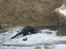 Fluss-Otter, der das Snowy-Ufer mit einem Strom und Wasserfall nahe bei ihm erforscht lizenzfreies stockfoto