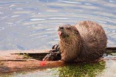 Fluss-Otter, der heraus Zunge, Yellowstone haftet. Lizenzfreie Stockfotografie