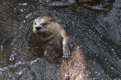 Fluss-Otter, der an zurück zu seinem im Fluss rollt Stockbilder