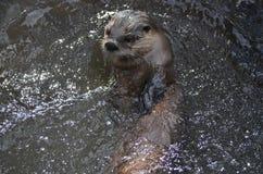 Fluss-Otter-Schwimmen auf seinem zurück in einem Fluss Stockfotografie