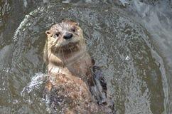Fluss-Otter-Schwimmen auf seinem zurück in einem Fluss Lizenzfreies Stockbild