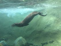 Fluss-Otter-Tauchen in das düstere Wasser, das unter Wasser mit den Felsen und Schmutz oben gerührt schwimmt stockfoto
