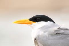 Fluss-Seeschwalben-Nahaufnahme Lizenzfreies Stockfoto