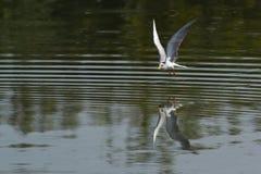Fluss-Seeschwalben-Vogel im Flug Lizenzfreie Stockfotografie