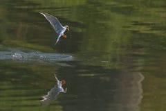 Fluss-Seeschwalben-Vogel im Flug Stockbilder