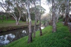 Fluss Torrens mit Eukalypten in der Ansicht Lizenzfreie Stockbilder